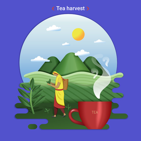 Flat farm landscape illustration of tea harvest. Rural landscape with tea hills and tea field. The woman harvesting tea leaves. Illustration