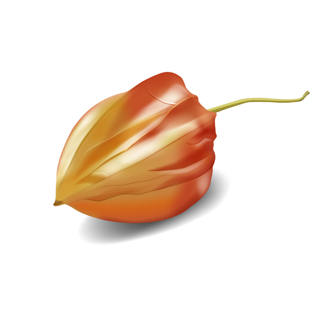 Vector realistic illustration of physalis berry. Chinese winter cherry for culinary. Healthy and organic sweet plants, gourmet dessert. Colorful isolated fruits on white background.