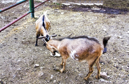 Two goats butting each other on the farm photo