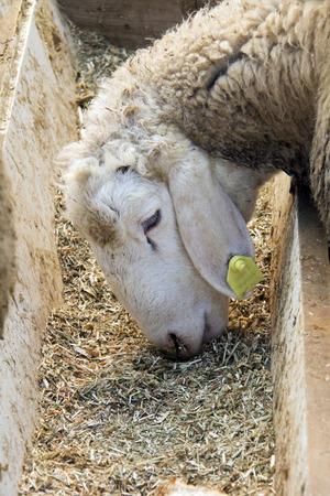 Closeup of a sweet lamb feeding at a trough