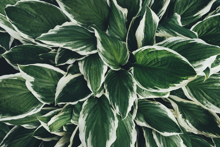 Background with green hosta leaves. Full frame. View from above.