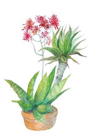 Watercolor painting: Succulent in a pot on white background.