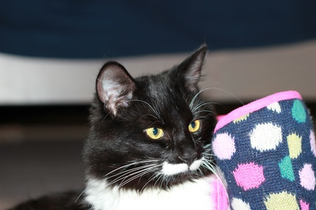 Portrait of black and white cat with long mustache