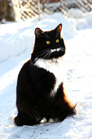Handsome male black and white with a long mustache sitting in the snow