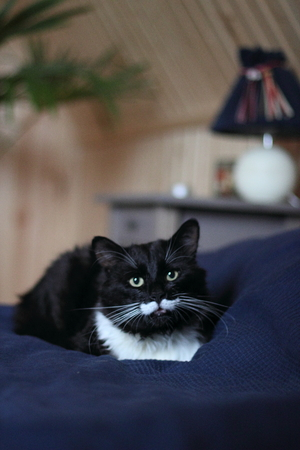 black and white cat with plush mustache and expressive eyes Stock Photo