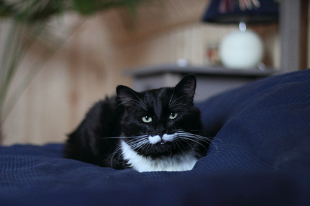 black and white cat with plush mustache