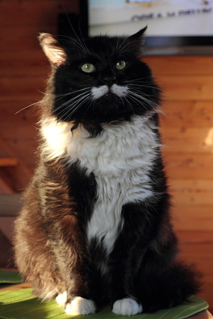 Beautiful black and white cat with long whiskers. sunlight Stock Photo
