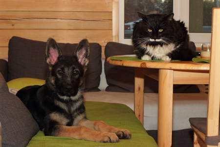Beautiful German Shepherd puppy and cat in the house