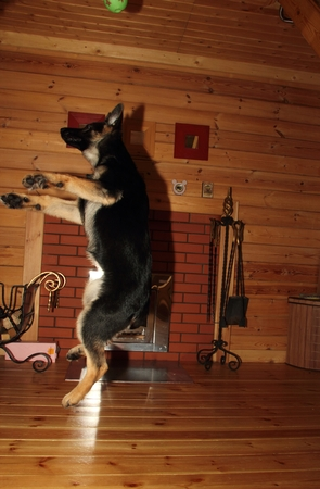 Beautiful German Shepherd puppy jumping in the wooden house