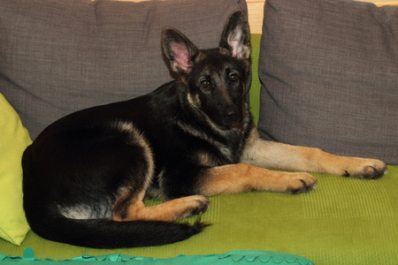 grown: Grown German shepherd puppy