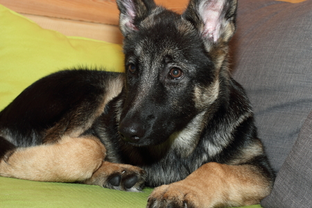 Grown German shepherd puppy lying on the couch.