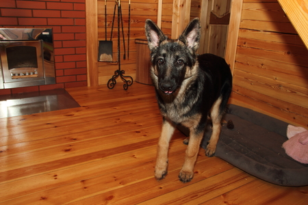 german shepherd puppy: German Shepherd puppy in a wooden house with a fireplace.