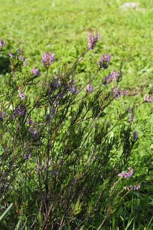 blooming purple: blooming purple heather in the Leningrad region