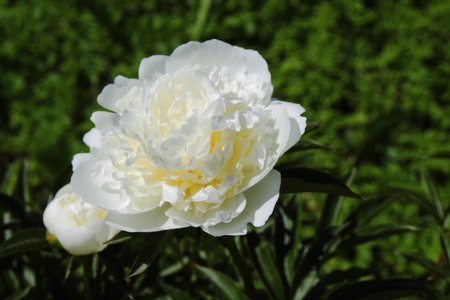 floristry: white peonies in the garden. Floristry and Horticulture Stock Photo