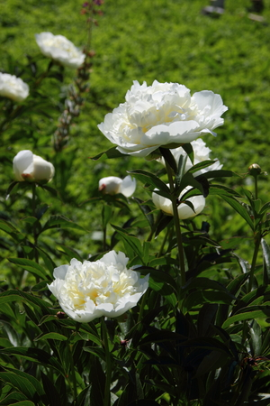 white peonies in the garden. Floristry and Horticulture Stock Photo
