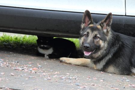 german shepherd dog: German Shepherd dog with a cat lying rest