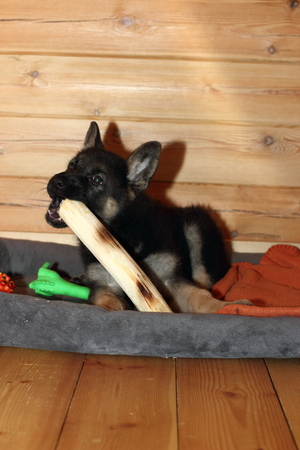 German Shepherd puppy chewing on a big stick