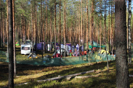 Camping in a pine forest. Many tents and trailers