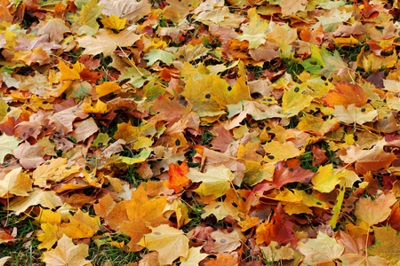 Many multi-colored maple leaves.  Nice Autumn background