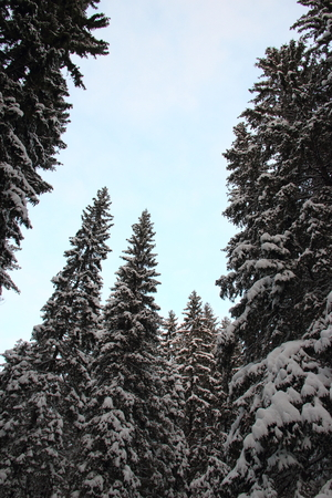 A view of the top of large fir trees in the blue sky in winter