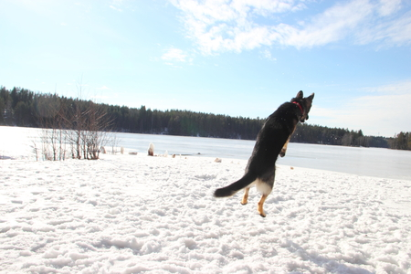 cynology: East European Shepherd in a jump in the lake in winter Stock Photo