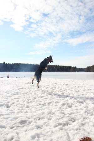 East European Shepherd in a jump in the lake in winter Stock Photo