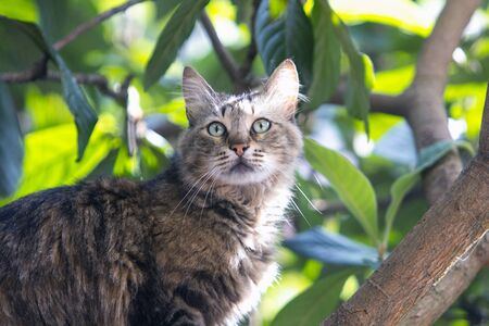 Stray cat on locquat tree is unhappy as prey has escaped. Stray cats depend on a variety of food sources and small birds and reptiles on trees are often easy prey for them providing additional nutrience.
