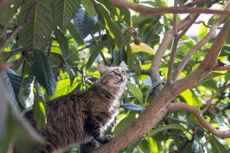 Stray cat on locquat tree looking for prey carefully. Stray cats depend on a variety of food sources and small birds and reptiles on trees are often easy prey for them providing additional nutrience. 写真素材