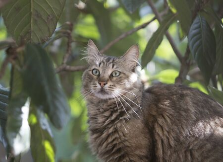 Half body portrait of a stray tabby cat on locquat tree looking confused. Stray cats depend on a variety of food sources and small birds and reptiles on trees are often easy prey for them providing additional nutrience. 写真素材