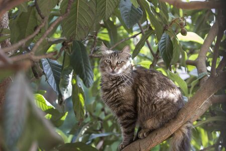 Full body profile portrait  of a stray tabby cat sitting on a loquat tree staring at the observer.Stray cats depend on a variety of food sources and small birds and reptiles on trees are often easy prey for them providing additional nutrience.