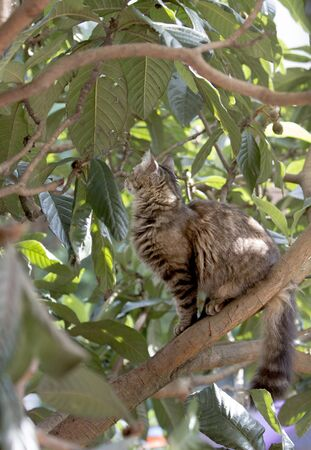 Full body profile of a stray tabby cat on a loquat tree looking for prey. Stray cats depend on a variety of food sources and small birds and reptiles on trees are often easy prey for them providing additional nutrience.