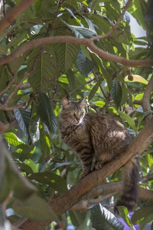 Full body profile of a stray tabby cat on a loquat tree looking away. Stray cats depend on a variety of food sources and small birds and reptiles on trees are often easy prey for them providing additional nutrience. 写真素材