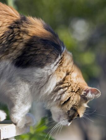Tricolor furry domestic cat trying to descend from highground in a close up profile image depicting its head, paws and from body details with bokeh.