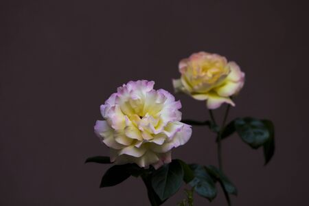 Close up image of a couple of damask roses with pink-yellow leaves, stem and green leaves on maroon background.