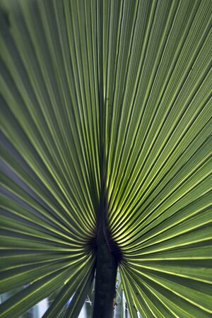 Close up image of a backlit green palm tree leaf, reminding peaceful shadows in tropical holidays.