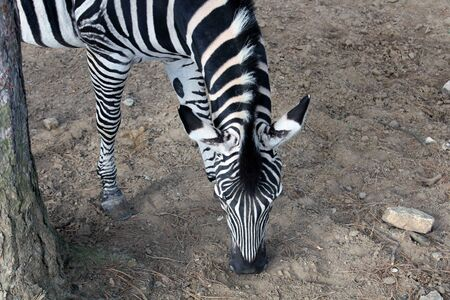 High angle view of a Zebras half body, head and neck. The Zebra is grazing, next to a tree trunk. Stock Photo