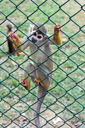 Full body portrait of a spider monkey in captivity, climbed on fence staring at the observer with curious eyes.