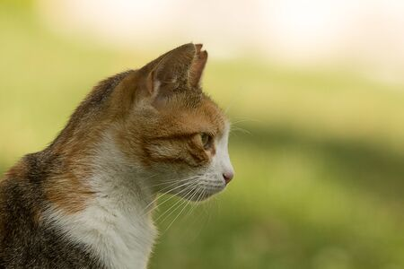 Profile portrait including neck, shoulder and head of a nice stray calico cat with one ear bit off, staring at left. Strong green bokeh providing copy space.