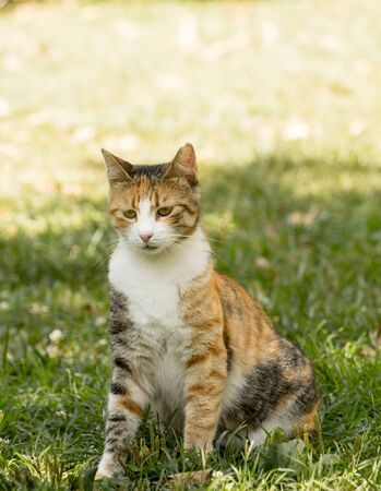 A young stray calico cat sitting on green grass in shadows in full body front portrait image.