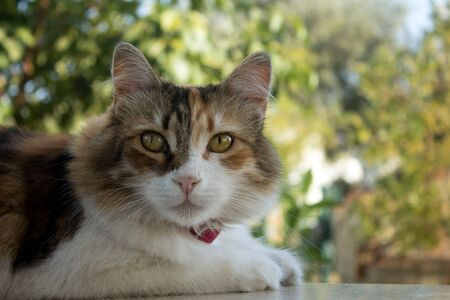 Half body portrait of a nice calico cat, facing at the lens.With large copy space and nature bokeh. Stok Fotoğraf