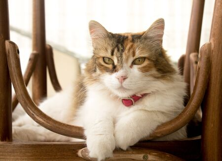 Front portrait of an adorable calico cat lying on a reversed rustic chair, looking at the lens. Stok Fotoğraf