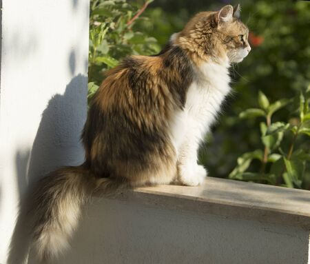 A calico cat sits on a balcony wall of a mediterranean house with garden. The cat looks ahead with attention.