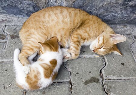 45 degree portrait image of a ginger kitten feeding on ginger mothers papilla, which is lying on the ground asleep. Banco de Imagens