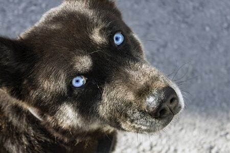 Close up portrait of the head of a stray dog, mulatto, inherited Husky eyes of ice blue color, looking up at the camera in high angle view image. Stock fotó