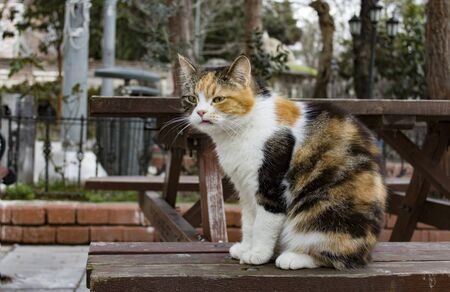 Outdoors full length profile portrait of a stray calico cat with natural facial imperfections, making it seem like a bored, sour cat. Banque d'images