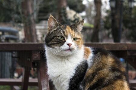 Outdoors profile portrait of a stray grumpy calico cat with natural facial imperfections, making it seem like a bored, sour cat. 写真素材