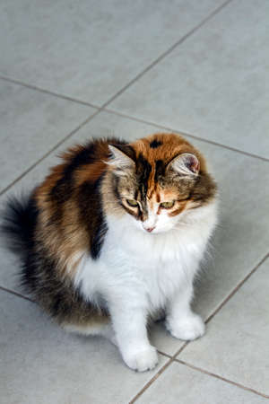 Full length, high angle view of a cute tricolor cat sitting on ceramic white flooring and waiting for something, looking away from lens with some copy space above.