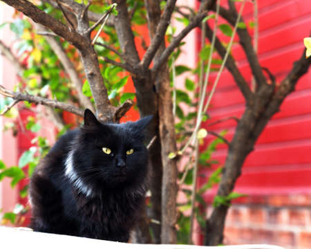 Front portrait of a black cat with nice white collar, sitting on a wall in a street, with some foliage in the background.