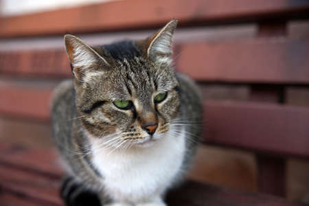 Close up portrait of a beautiful brown-white tabby cat with green eyes, sitting on a wooden bench, looking away.
