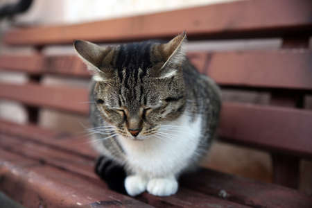 Front close up portrait of a Young brown-white tabby cat crouched on a wooden bench with closed eyes. 免版税图像